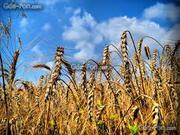 пшеница, мука, отруби пшеничные, крупы, фураж